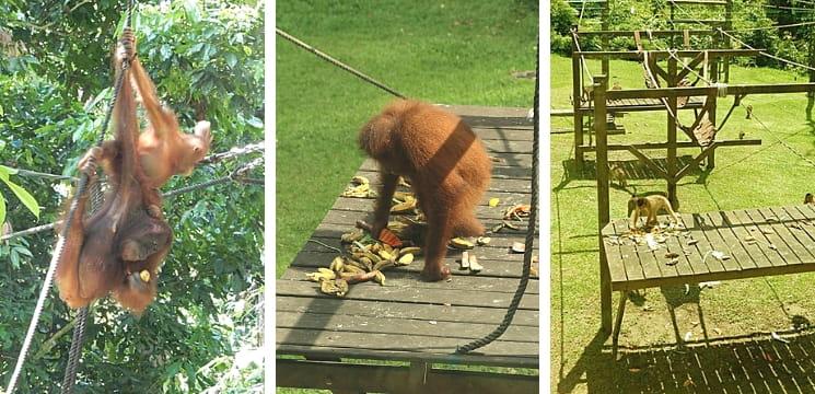 Sepilok Orangutan Rehabilation Centre