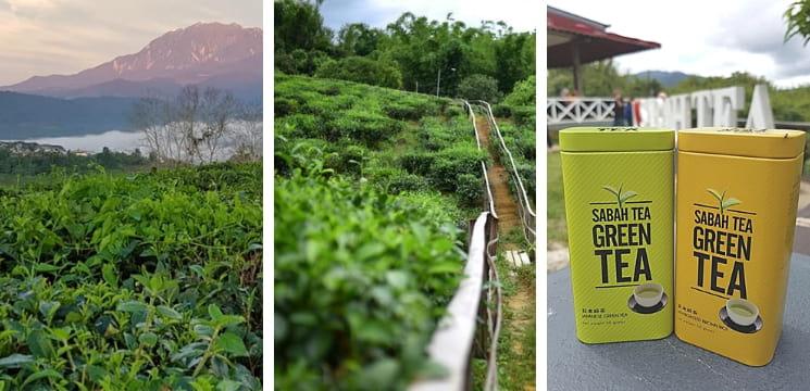 ladang teh sabah kundasang