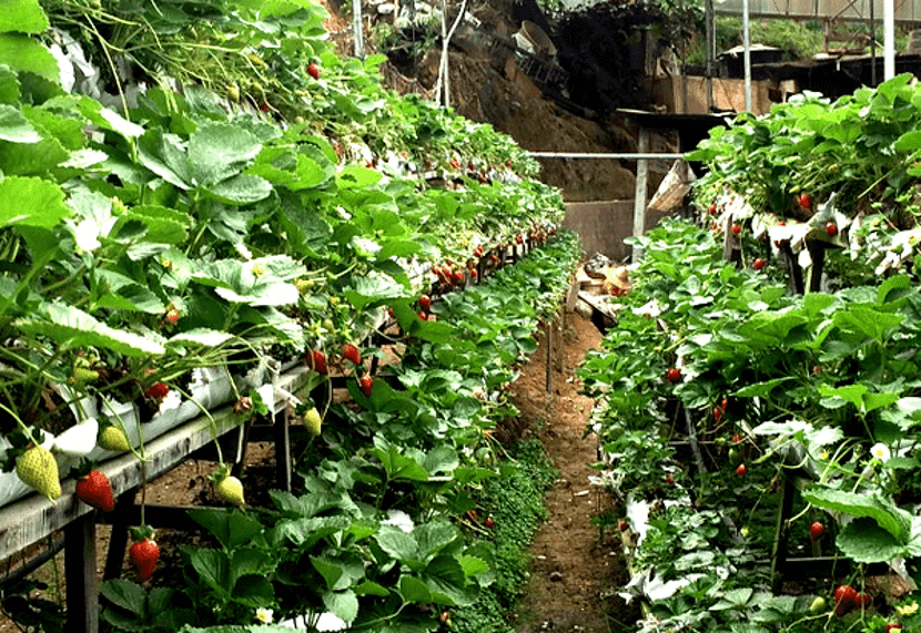 agrotech strawberi cameron highland