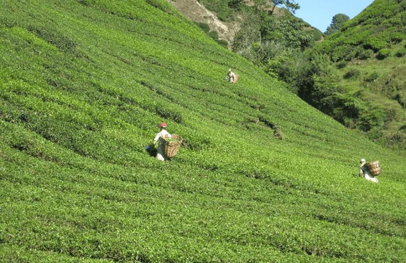 aktiviti menarik ladang teh boh