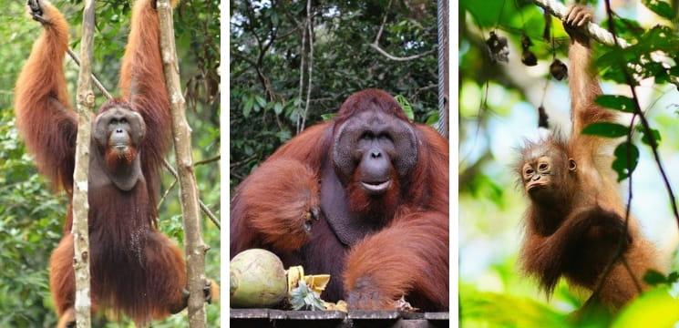 semenggoh wildlife centre kuching sarawak