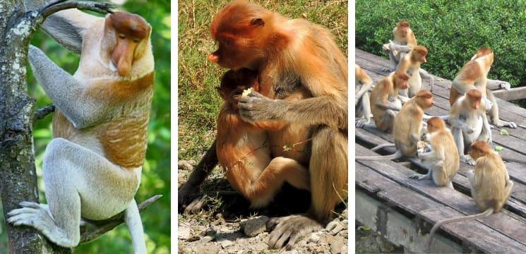 bercuti di sandakan dan Labuk Bay Proboscis Monkey Sanctuary