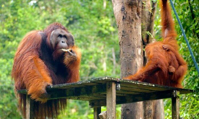 Semengoh-Wildlife-Kuching