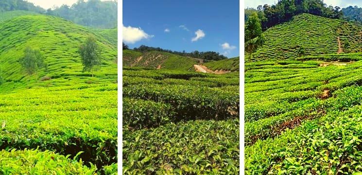 ladang teh kuala terla cameron